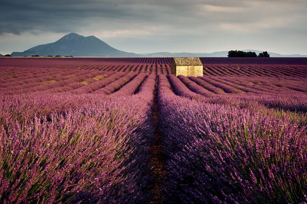 Lavender field - Plateau de Valensole - France